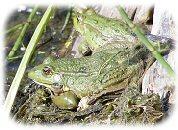 [ Random UK Reptile or Amphibian Image ]
